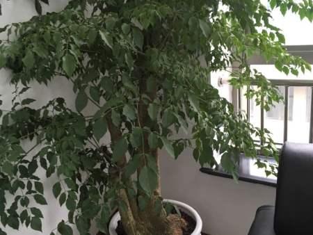大型绿化植物