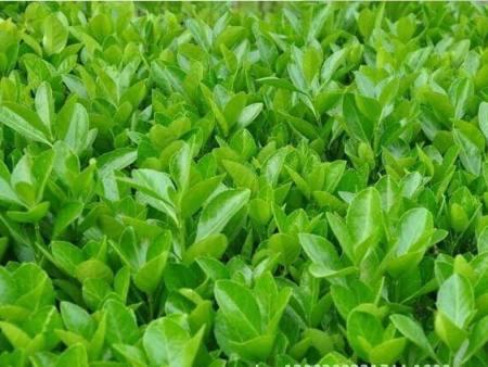 如何选择品质优良的苗木品种?