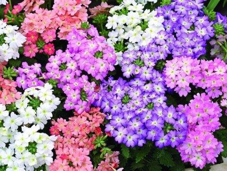 宿根花卉为什么不宜种在室内?