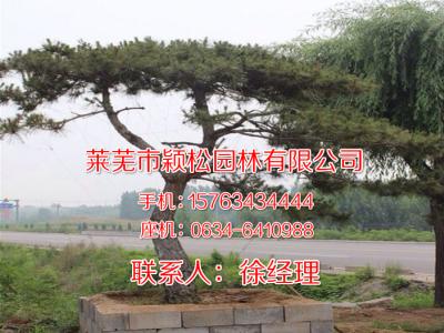 山东造型松树基地-黑松_油松_泰山迎客松+一站式松树服务平台