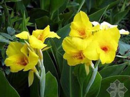 水生美人蕉(黃色)
