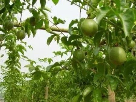 百香果种植基地