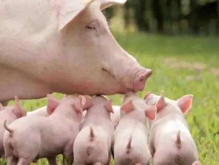 猪流感高发季节,如何做好猪群的预防与治疗?