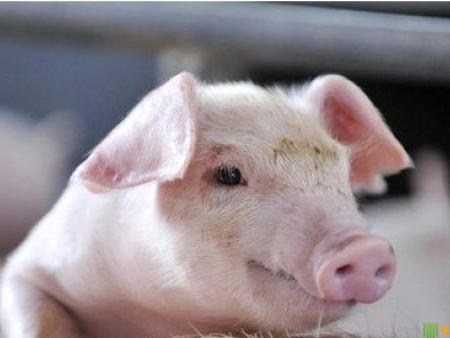 猪传染病的发生及危害