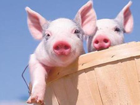 猪传染病是怎么发生和流行的