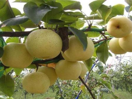 秋月梨树苗