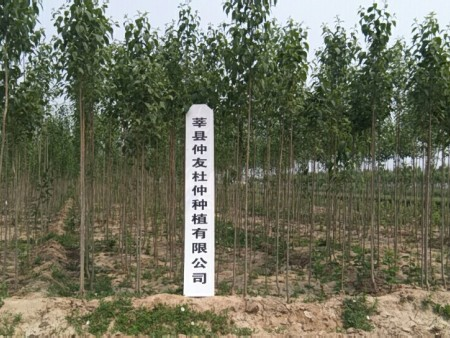 杜仲树栽培