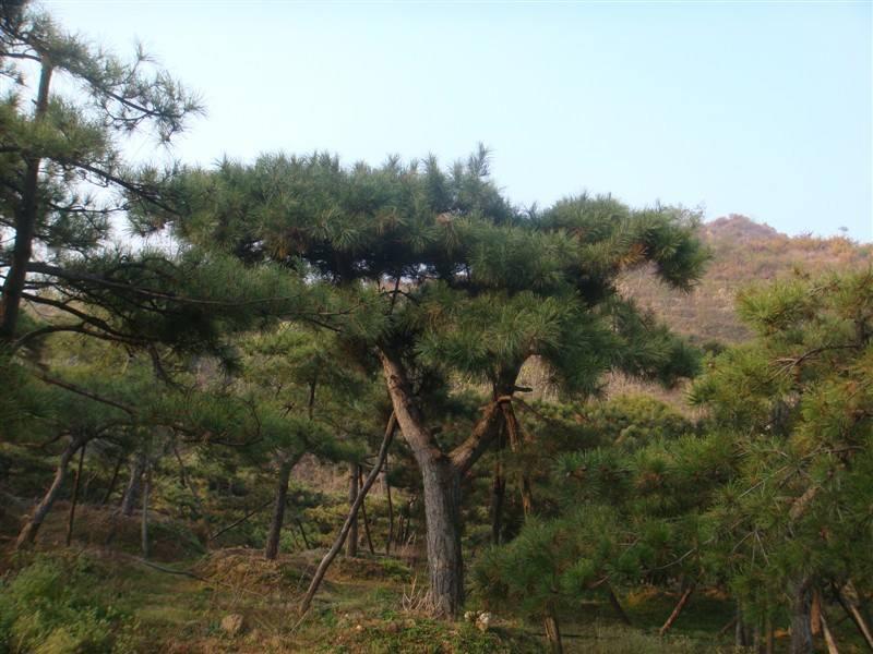 造型黑松的生长过程中面临什么问题