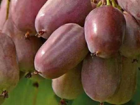 軟栆獼猴桃
