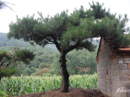 景观松在空气净化层面有着重要的作用