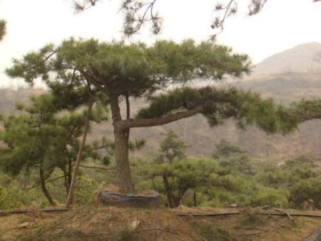 一个种植者对景观松栽植技术的感悟