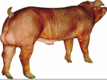 杜洛克公豬