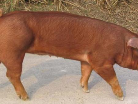 杜洛克母豬