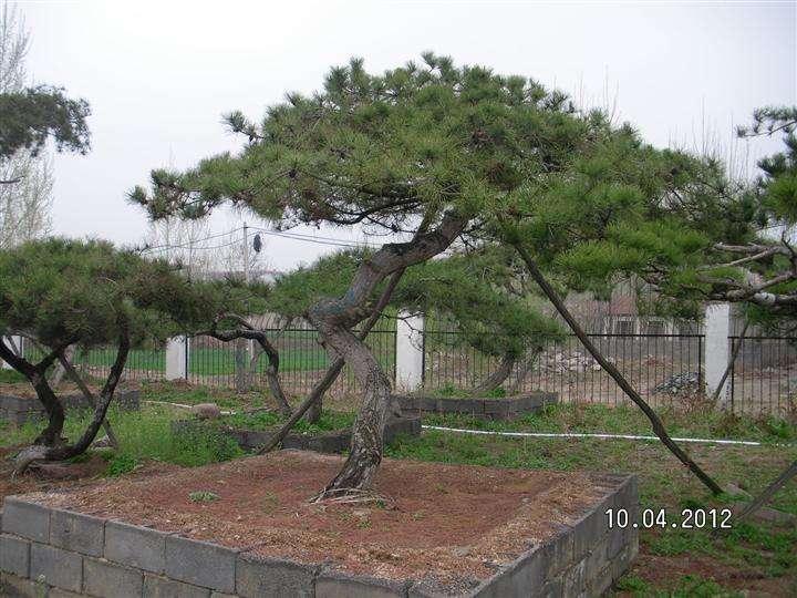 造型油松基地樹種的選擇尤其重要
