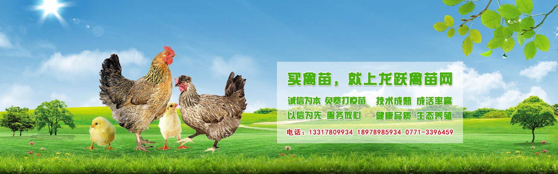 广西鸡苗孵化基地-广西跃龙禽苗孵化有限公司基地负责搞好疫苗,负责技术指导