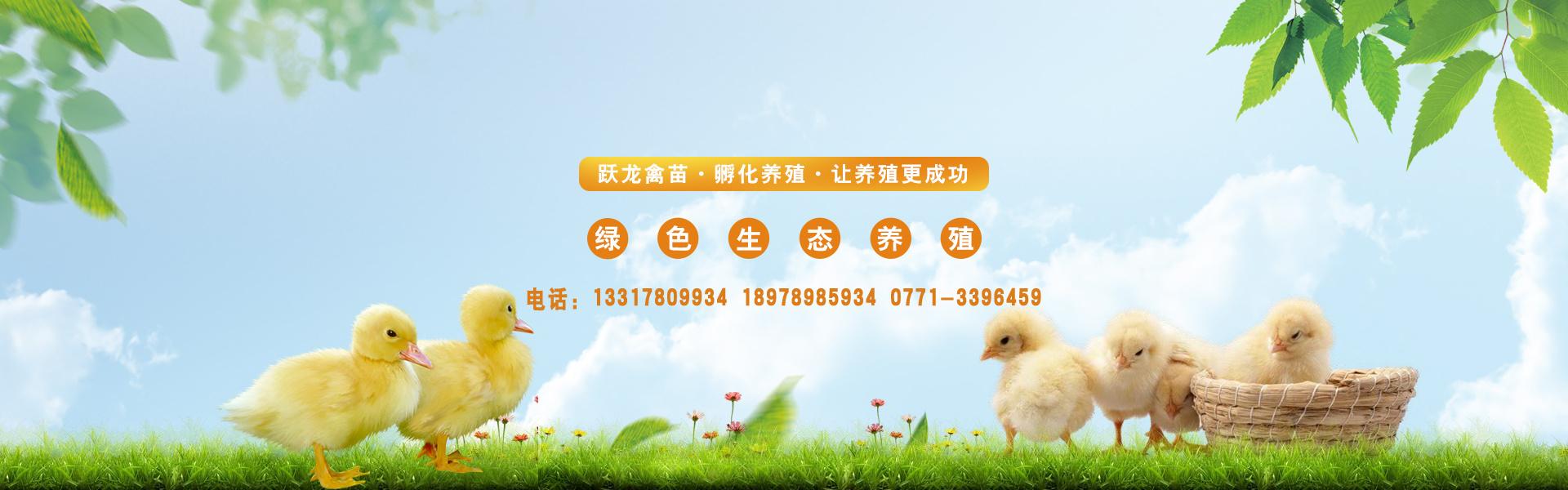 贵州鸡鸭养殖技术-广西跃龙禽苗孵化有限公司基地