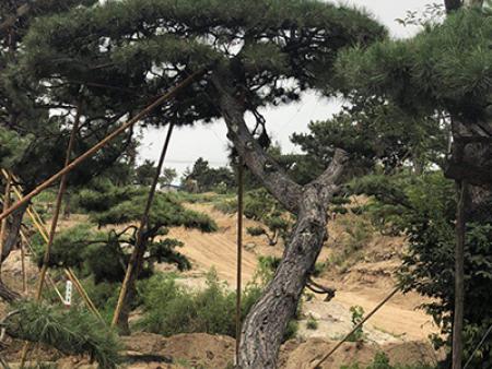 """造型松基地培育泰山迎客松的""""三不原则"""""""