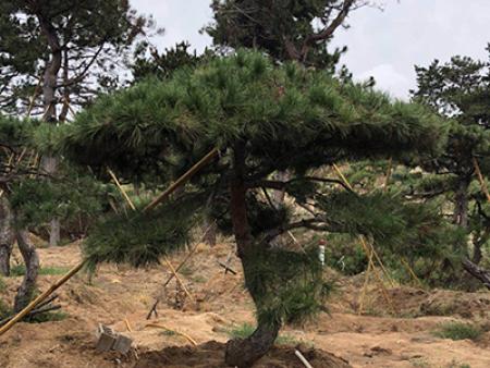 造型松树在移栽时出现大损伤之后赶紧这样做!