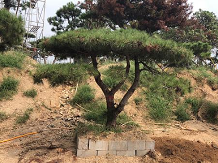 泰山迎客松价格与苗木移栽成活率之间有怎样的关系