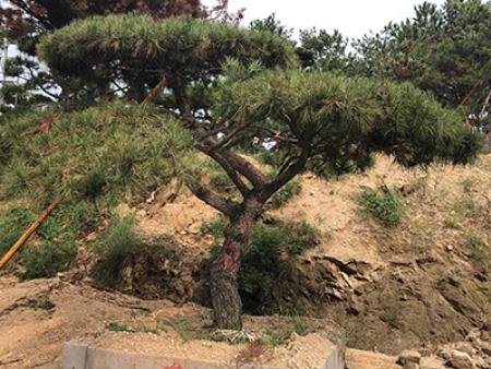 造型松基地采用了哪些技术培育树木