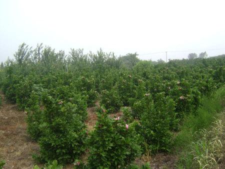 北美灌木玉兰