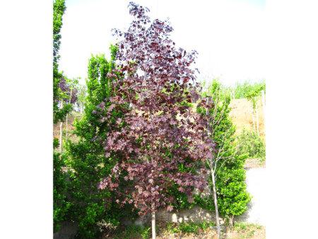 挪威槭-红国王