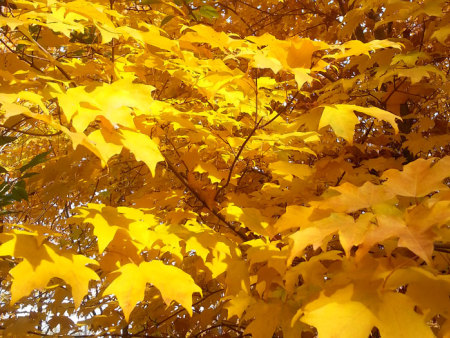 加拿大糖槭