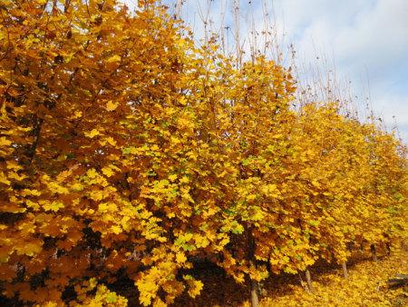 挪威槭-狄波拉