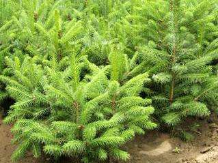 提高内蒙云杉树苗栽植成活率的方法