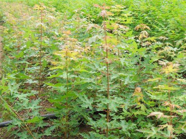 一亩种植多少抚顺五角枫树苗?附五角枫树苗种植技术