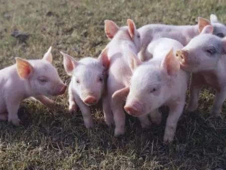 探讨最佳全程生产性能之乳仔猪料配方策略