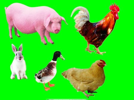 近期生猪市场不确定性很大,鸡蛋价格上涨告一段落!