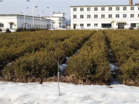 云杉小苗 冬季图片