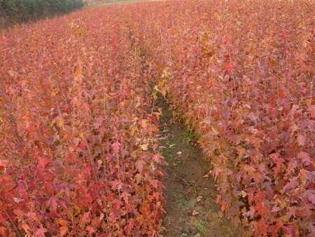 茶条槭-三角枫苗
