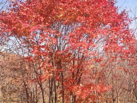 丛生拧筋槭