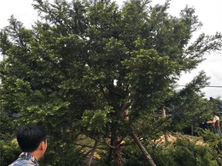精品红豆杉