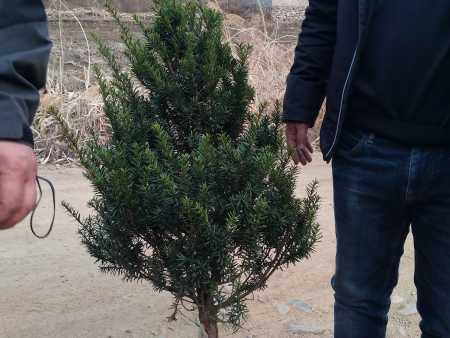 红豆杉1.2米