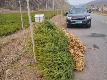 红皮密枝1.5米