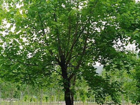 抚顺五角枫树苗出现枯萎病的原因及预防方法