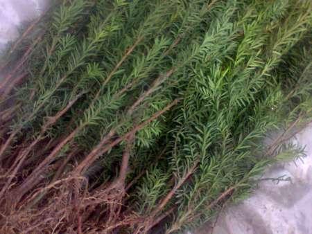 红豆杉床苗