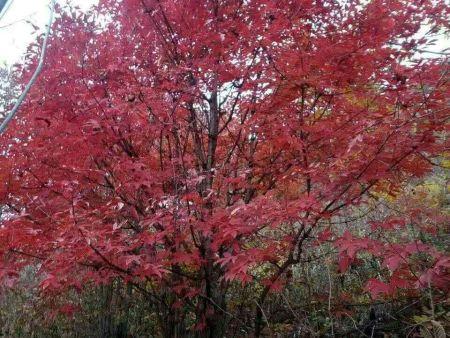丛生拧筋槭 秋天