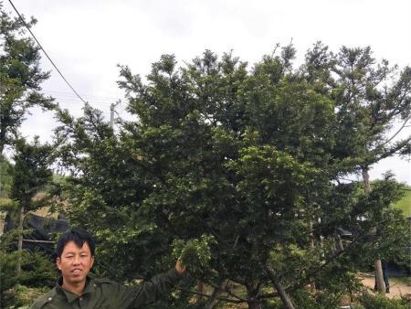 红豆杉大苗