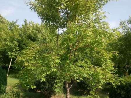 五角枫苗木从播种到培育成长的过程