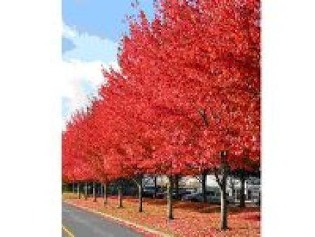 美国红枫秋火焰