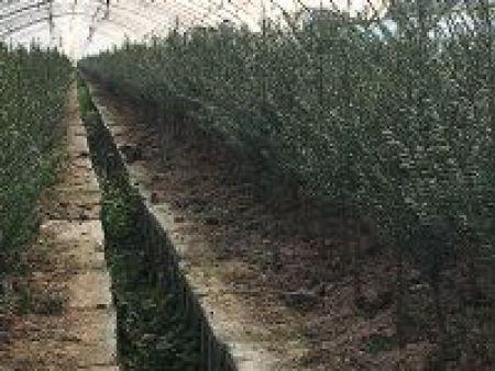 红豆杉(抗寒)
