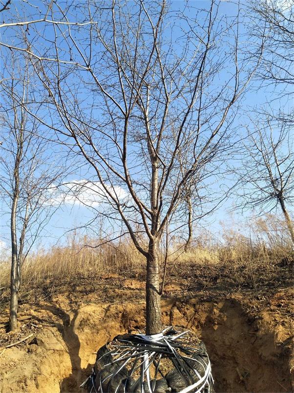 内蒙青扦告诉你绿化苗木出土后可以放多长时间?