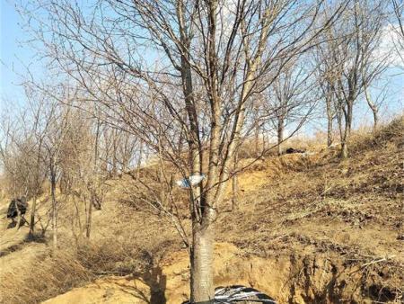 内蒙青扦带你看看苗木行业低谷还在吗?