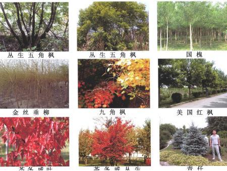 抚顺樟子松千赢国际手机版官方网页种植和相关技术指导