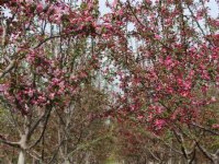 北美海棠(抗寒)