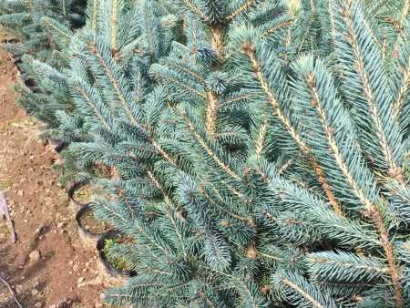 内蒙红松树苗的种植培育方式